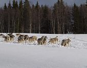 foto of skijoring  - Dog sleds have been used for transportation in northern regions for thousands of years - JPG