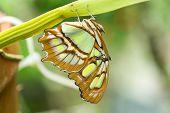 image of malachite  - A single Malachite butterfly rests on the underside of a leaf stem   - JPG