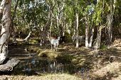 stock photo of zebu  - Cattle grazing near a creek in rural Queensland - JPG