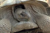 Portrait Of Aldabra Giant Tortoise