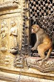 Monkey at Swayambhunath Stupa. Nepal