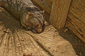 image of wombat  - a wombat laying in the dirt close - JPG