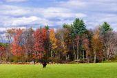 Bull Grazing In A Field