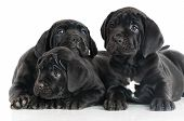 adorable cane corso puppies together