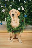 Labrador Retriever Dog Wearing Christmas Wreath