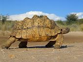 Mountain tortoise (Geochelone pardalis) in natural environment, South Africa