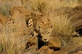 Stalking male leopard (Panthera pardus), Namibia, southern Africa
