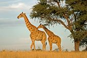 Two giraffes (Giraffa camelopardalis) under a camel thorn (Acacia erioloba) tree, Kalahari, South Af