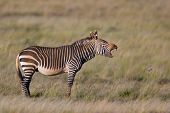 Endangered Cape Mountain Zebra (Equus zebra), Mountain Zebra National Park, South Africa