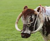 Longhorn Cattle.