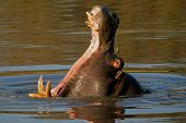 Hippopotamus (Hippopotamus amphibius) yawning, Sabie-Sand nature reserve, South Africa