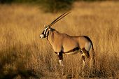 Gemsbok antelope (Oryx gazella), Kalahari desert, South Africa