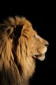 Side portrait of a big male African lion (Panthera leo), against a black background, South Africa