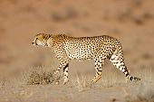 Stalking cheetah (Acinonyx jubatus), Kalahari desert, South Africa