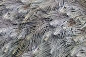 Close-up view of the feathers of an ostrich (Struthio camelus)