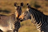 Endangered Cape Mountain Zebras (Equus zebra), Mountain Zebra National Park, South Africa