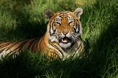 Bengal tiger (Panthera tigris bengalensis)  laying in thick grass