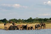 Herd of African elephants (Loxodonta africana) at a waterhole, Hwange National Park, Zimbabwe, south