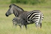 Plains (Burchell?s) Zebra (Equus quagga) mare with foal, Etosha National Park, Namibia, southern Africa