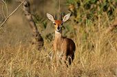 Male steenbok antelope, (Raphicerus campestris), Kruger National Park, South Africa