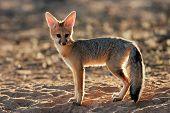 Backlit Cape fox (Vulpes chama), Kalahari desert, South Africa
