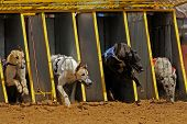 Greyhounds emerging from the starting cages during a race