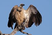 White-backed vulture (Gyps africanus) perched on a branch, South Africa