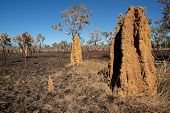 Massive cathedral termite mounds (Nasutitermes triodae), Kakadu National Park, Northern Territory, Australia