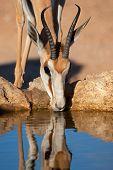 Portrait of a springbok antelope (Antidorcas marsupialis) drinking water, Kalahari desert, South Africa