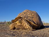 Mountain or leopard tortoise (Geochelone pardalis), Kalahari desert, South Africa