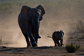African elephant cow with calf (Loxodonta africana) silhouetted in dust, Addo Elephant park, South Africa
