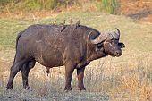 African or Cape buffalo bull (Syncerus caffer), Kruger National park, South Africa