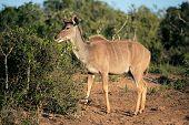 A female kudu antelope (Tragelaphus strepsiceros) feeding on a tree, South Africa