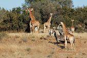 Group of giraffe (Giraffa camelopardalis) and  Plains Zebras (Equus quagga), South Africa