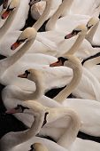 A Concentration of Swans