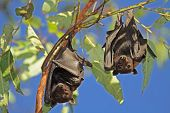 Black flying-foxes (Pteropus alecto) hanging in a tree, Kakadu National Park, Northern territory, Australia