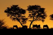 Blue wildebeest (Connochaetes taurinus) and an African Acacia tree silhouetted against a red African
