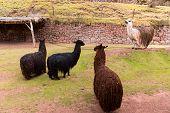 Peruvian Alpaca.