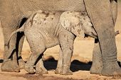 Young African elephant calf (Loxodonta africana), Addo Elephant park, South Africa