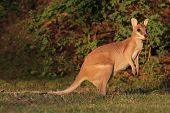 Female Agile Wallaby (Macropus agilis), Kakadu National Park, Northern territory, Australia