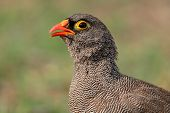 Portrait of a red-billed francolin (Pternistis adspersus), southern Africa