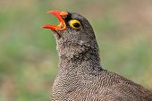 Portrait of a red-billed francolin (Pternistis adspersus) calling, southern Africa