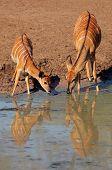 Two female Nyala antelopes (Tragelaphus angasii) drinking water, Mkuze game reserve, South Africa