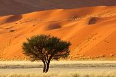Red sand dune with an African Acacia tree and desert grasses, Sossusvlei, Namibia, southern Africa