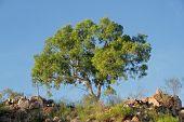 Australian eucalyptus tree against a blue sky