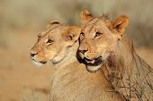 Portraits of two lions (Panthera leo) in affectionate interaction, Kalahari desert, South Africa