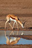 A springbok antelope (Antidorcas marsupialis) with reflection in water, Kalahari desert, South Africa