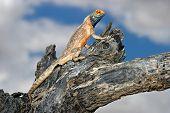Male ground agama (Agama aculeata) sitting in a tree, Kalahari desert, South Africa