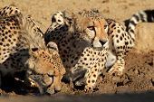 Cheetahs (Acinonyx jubatus) drinking water, Kalahari desert, South Africa