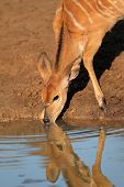 Female Nyala antelope (Tragelaphus angasii) drinking water, Mkuze game reserve, South Africa